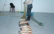 Aproximativ 150 kilograme peşte şi plase confiscate