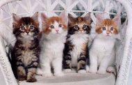 Cele mai frumoase pisici din lume la Magnificats – Expoziţia internaţională de feline!